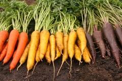 Kolorowa marchew